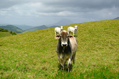 Cows and Volcano. Three cows standing in front of Volcan Arenal, Costa Rica Stock Photography