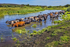 Cows wade cross the river Stock Photo