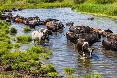 Cows wade cross the river Royalty Free Stock Photos