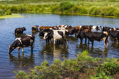 Cows wade cross the river Stock Images