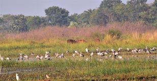 Cows, waders and other birds in marshes. A marshland with feeding wading birds like asian openbill storks, egrets and grazing cows in winter afternoon in a rural Stock Photo