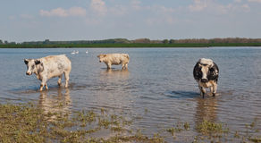 Cows wading in the water. Three cows wading in water of the Dutch National Park De Biesbosch Stock Images