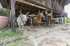 Cows and wagon of Thai antiquity Stock Photo