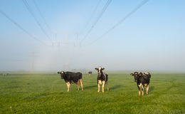 Cows waiting for the sun on dewy grass Stock Images