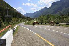 Cows walk on Chuysky Trakt Royalty Free Stock Photo