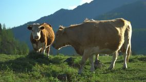 Cows walk on a green grass. Mountain landscape. stock video footage