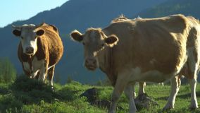 Cows walk on a green grass. Mountain landscape. Beautiful view stock video footage