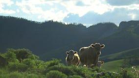 Cows walk on a green grass. Mountain landscape. stock video
