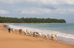 Cows walking along Butler Bay beach at Little. Stock Photography