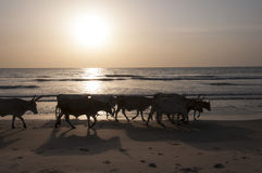 Cows walking on the beach Stock Photo