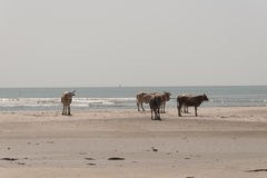 Cows walking on the beach Royalty Free Stock Photos
