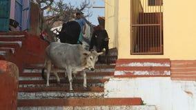 Cows walking down the city stairs in Varanasi. stock video