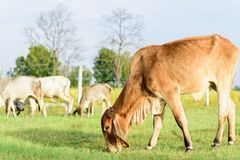 Cows walking and eating grass in a field. Portrait of cows walking and eating grass in a field Royalty Free Stock Photos