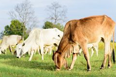 Cows walking and eating grass in a field. Portrait of cows walking and eating grass in a field Stock Image