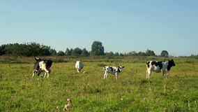 Cows walking on field at dairy farm. Dairy farming. Milking cow on livestock. Cows walking on field at dairy farm. Cows grazing on green meadow milk farm. Cows stock video footage
