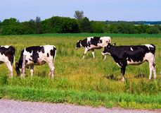 The cows are walking in the fields. Photo taken in summer 2017 in rural Drummondville, Quebec, Canada Stock Photos