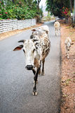 Cows walking in Goa Royalty Free Stock Photos