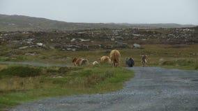 Cows Walking on Gravel Road. Steady, medium wide shot of cows walking on a gravel road stock video