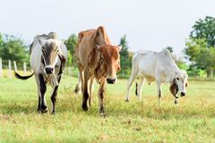 Cows walking in a green field. Portrait of cows walking in a green field and meadow Stock Photography