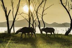 Cows walking beside lake Royalty Free Stock Image