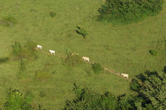 Cows walking on a meadow path Royalty Free Stock Images