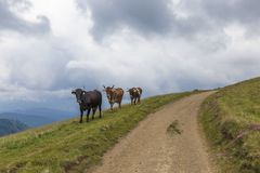 Cows walking in the mountains on the green meadows along road Stock Image