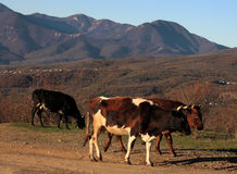 Cows walking in mountains Royalty Free Stock Photography