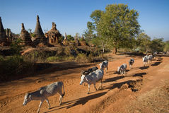 Cows walking near pagodas ,Inle lake Stock Photography