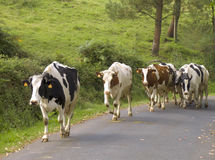 Cows walking over the road Stock Photo