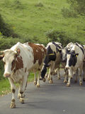 Cows walking over the road Royalty Free Stock Photo