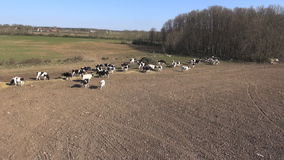 Cows walking in a pasture during spring in sweden, Aerial view Stock Photography