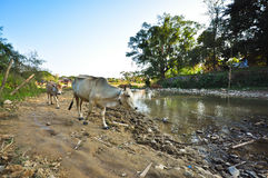 Cows walking by the river. Cows walking by a dirty river and dirty environment Stock Photo