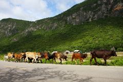 Cows walking on the road. Royalty Free Stock Images