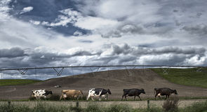 Cows walking to the milk shed. A line of cows walking to the milking shed in New Zealand stock photo