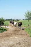 Cows walking towards the camera Royalty Free Stock Photography