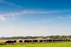 Cows walking towards a grassland from the farm Stock Photography
