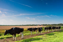 Cows walking towards a grassland from the farm Stock Images
