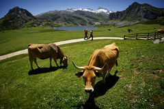 Cows and walking. Two men walk along a path of the Covadonga Lakes among grazing cows Stock Photo