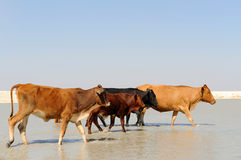 Cows walking in water. Four cows walking in water Royalty Free Stock Image