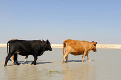 Cows walking in water. Some cows walking in water Royalty Free Stock Image