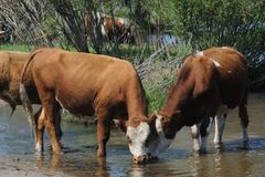 Cows in water Stock Images