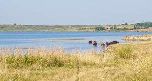 Cows in the water Stock Photography