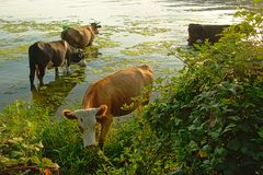 Cows in the water next to the green embankment of river Danube, in soft evening light stock images