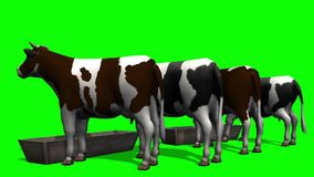 Cows at the water trough - green screen stock video
