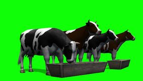 Cows at the water trough - green screen stock video footage