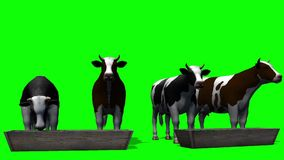 Cows at the water trough - green screen stock footage