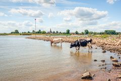 Cows in the water of a wide Dutch river. A black-and-white and a red-and-white cow walk carefully in the water of the Dutch river Waal. It is a warm day in the stock image