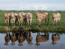 Cows at waterfront. Cows standing at waterfront, nice reflection royalty free stock photos