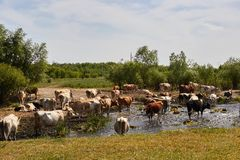 Cows at the watering Stock Photos