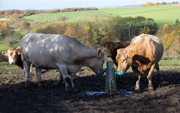 Cows at the watering. Herd of cows drinking water from a special shelf Stock Images
